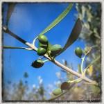 z widokiem na stół | zapiski podróżne Elba | oliwki