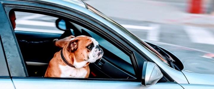 Jak przygotować zwierzę do podróży samochodem?