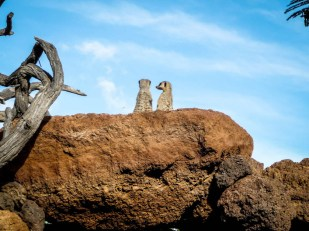 Zoo Fuertaventura surikatki