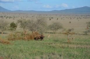 Bawół Safari w Kenii