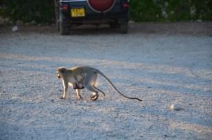 Małpka z dzieckiem Kenia