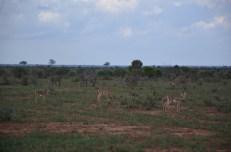 Zebry i gazele Kenia