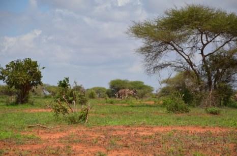 Zebry Kenia