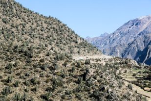 Kaktusy w kanionie Colca Peru