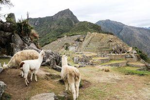 Lamy na Machu Picchu Peru