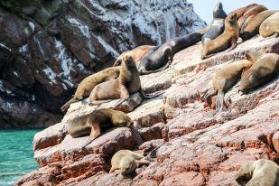 Lwy morskie 2 Islas Ballestas Peru