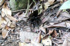Tarantula jezioro Sandoval Peru