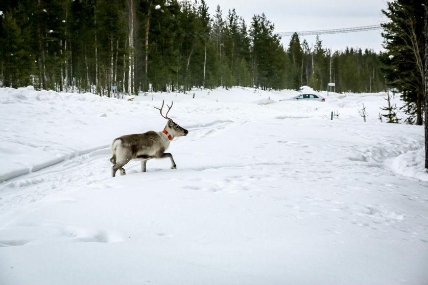 Renifer przy drodze Finlandia