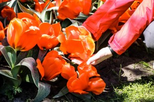 Ogromne tulipany Keukenhof