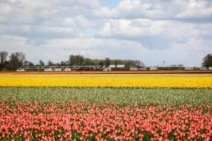 Tulipany Haarlem