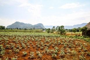 Uprawy Dolina Vinales