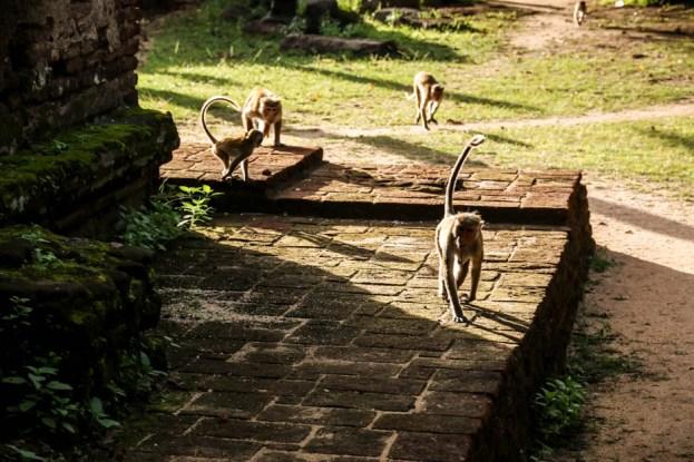 Polonnaruwa Sri Lanka małpy