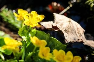 Tatry wiosną Kaczeńce