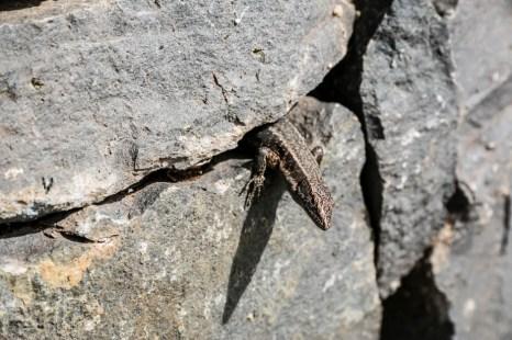 Madera jaszczurka
