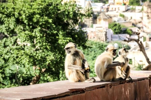 Indie Jaipur Fort Amber małpy
