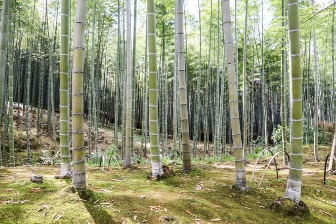 Las bambusowy Kyoto