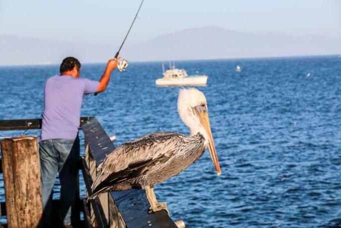 Pelikan na molo