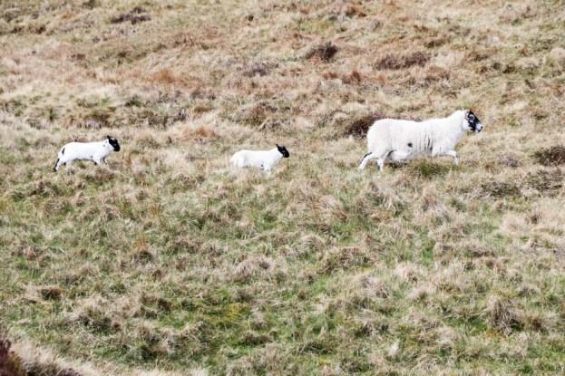 Rodzinka owieczek