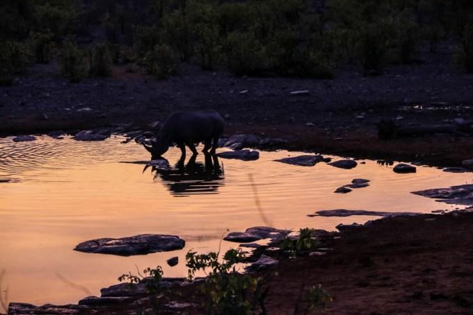 Safari w PN Etosha nosorożec Halali oczko pije