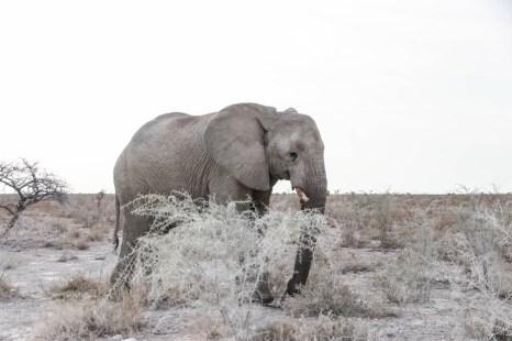 Safari w PN Etosha słoń