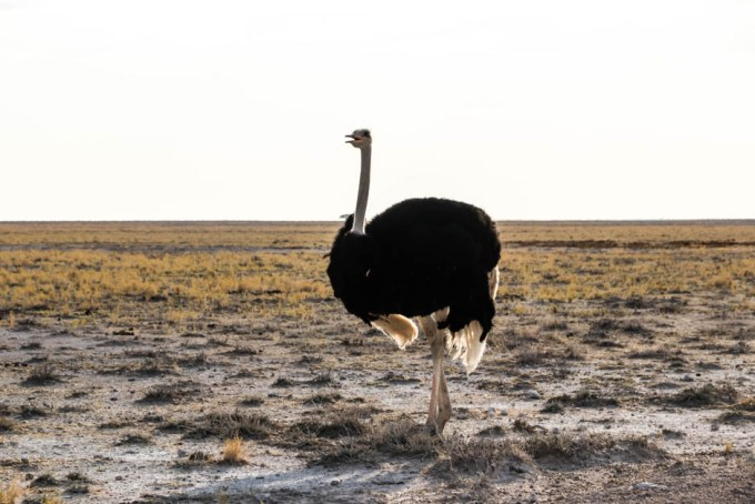 Safari w PN Etosha struś z bliska