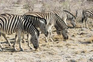Safari w PN Etosha zebry jedzą