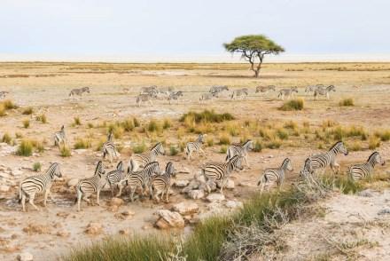Safari w PN Etosha zebry uciekają