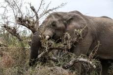 Słoń na kempingu w Palmwag
