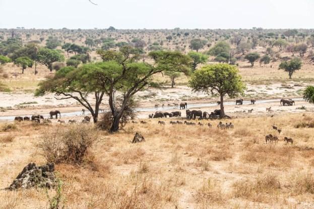 Tanzania PN Tarangire duzo zwierzat