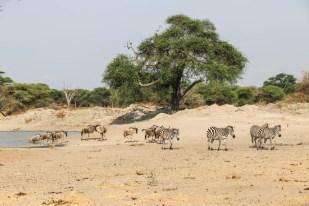 Tanzania PN Tarangire picie