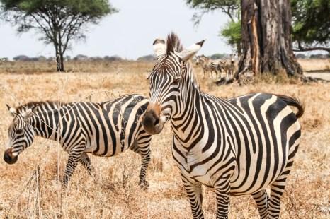 Tanzania PN Tarangire sarafi zebry