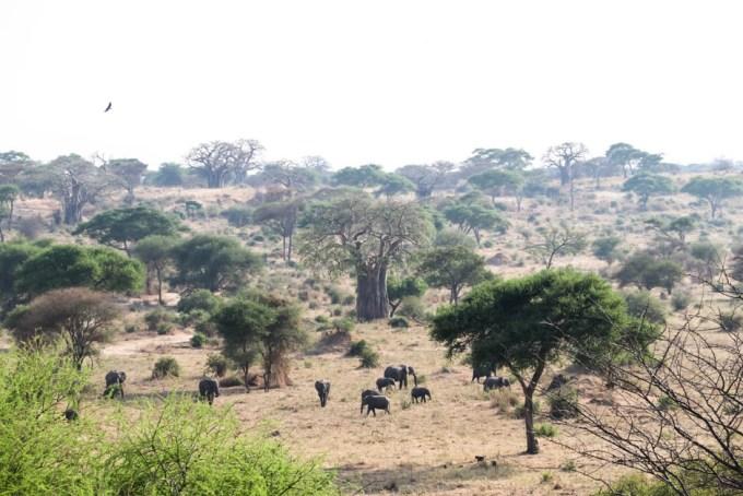 Tanzania PN Tarangire slonie w dolinie
