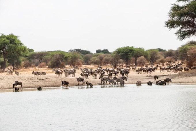 Tanzania PN Tarangire zwierzeta pijace