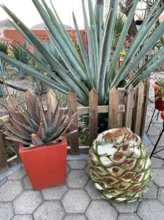 Oaxaca serce agawy