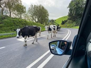 Azory krowy