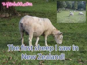 The first sheep I saw in New Zealand!