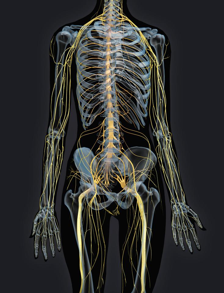 Zygote::3D Female Nervous System Model | Medically ...