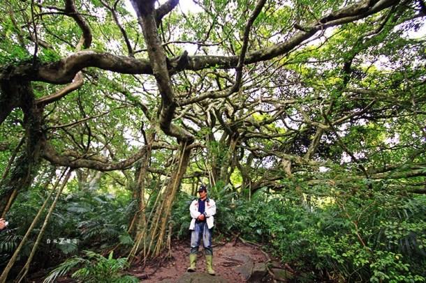 台東一日遊縱谷線台九線-37鸞山森林博物館會走路的樹