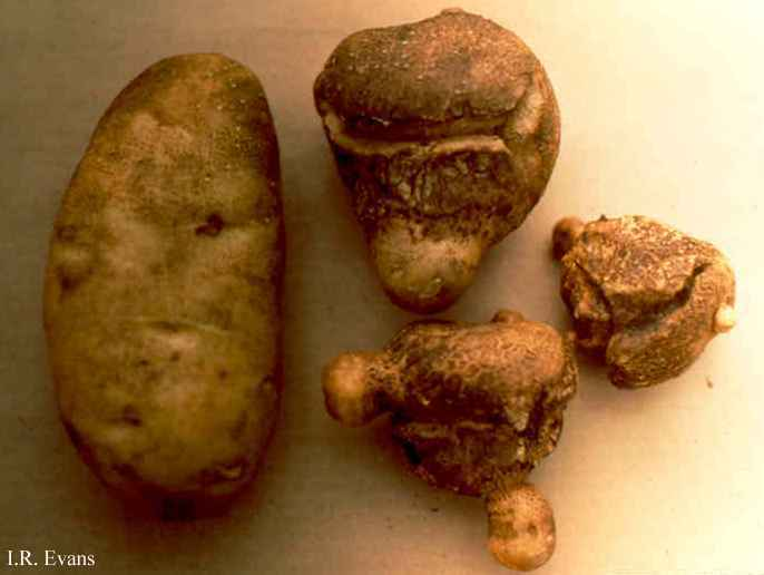 Image result for secondary growth potatoes