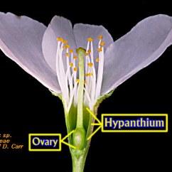 Parts Of A Flower Diagram Automobile Wiring Diagrams Rosaceae-2