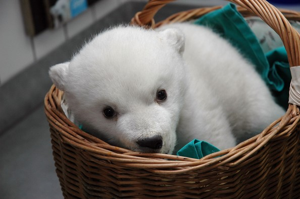 As if polar bear cubs weren't already cute enough, now someone's had the