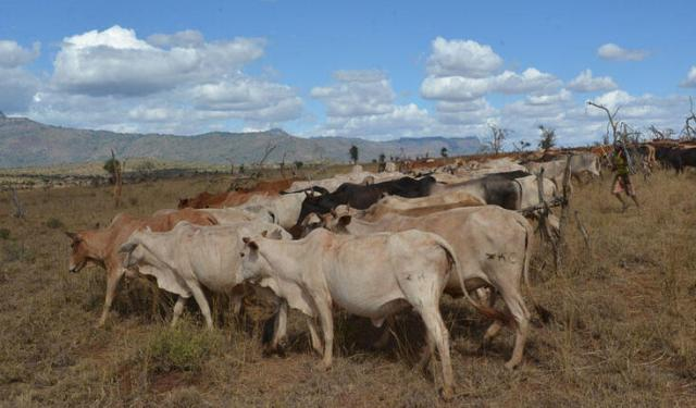 Cattle is grazing in the bushland damaged by elephants in the front of local water tower, the Taita Hills. Photo: Petri Pellikka.