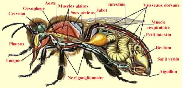 hornet anatomy diagram 1985 toyota truck wiring dessins en couleurs à imprimer : abeille, numéro 22511