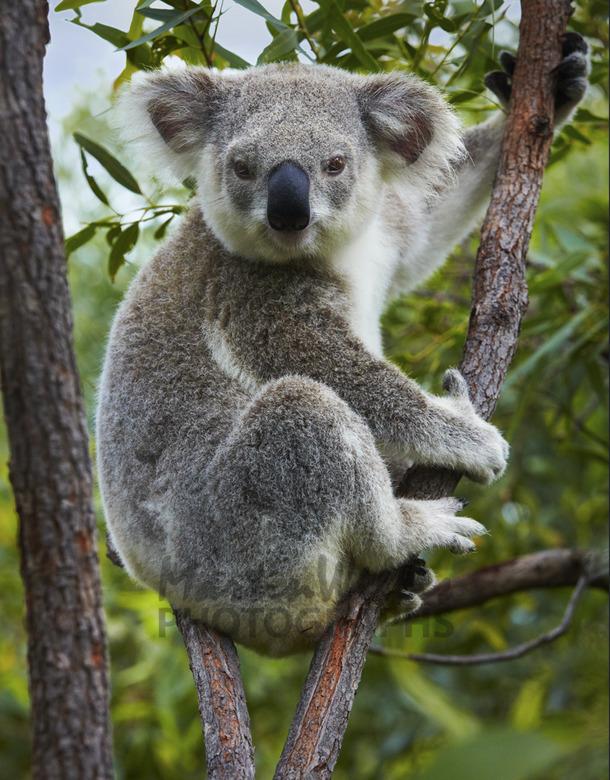 Dessins En Couleurs Imprimer Koala Numro 689807
