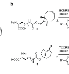 figure 3 genetic encoding and fluorogenic labeling of unnatural amino acids 1 2 and 3 a structures of unnatural amino acids 1 3  [ 1645 x 656 Pixel ]