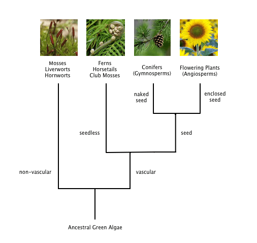 horsetail plant diagram plantar fasciitis flowering families