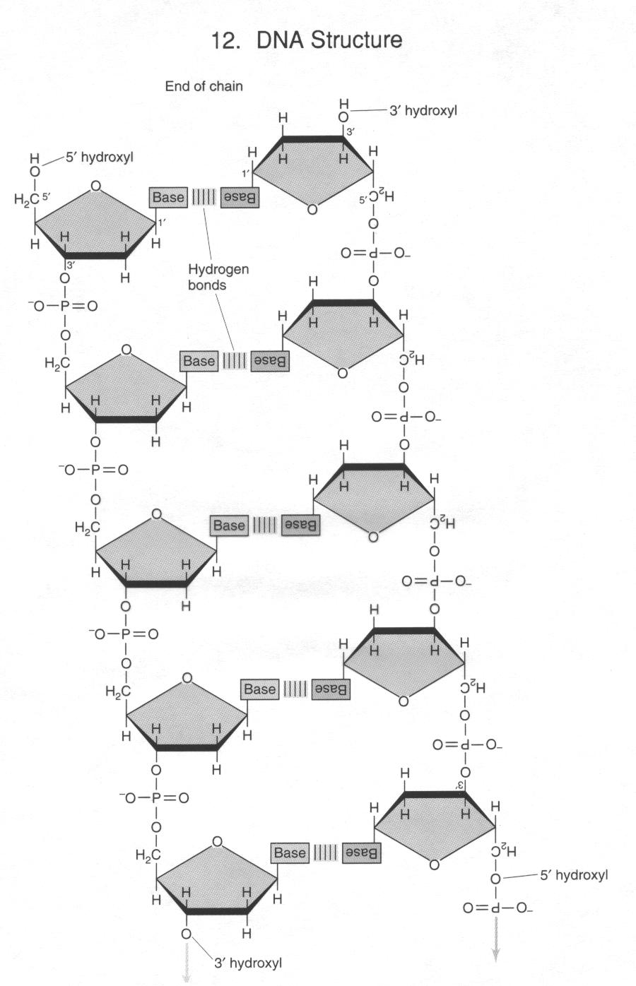 medium resolution of oligonucleotides 1 oligonucleotide growth occurs in the 5 to 3 direction via an attack by 3 hydroxyl groups upon the 5 alpha phosphate of nucleotide
