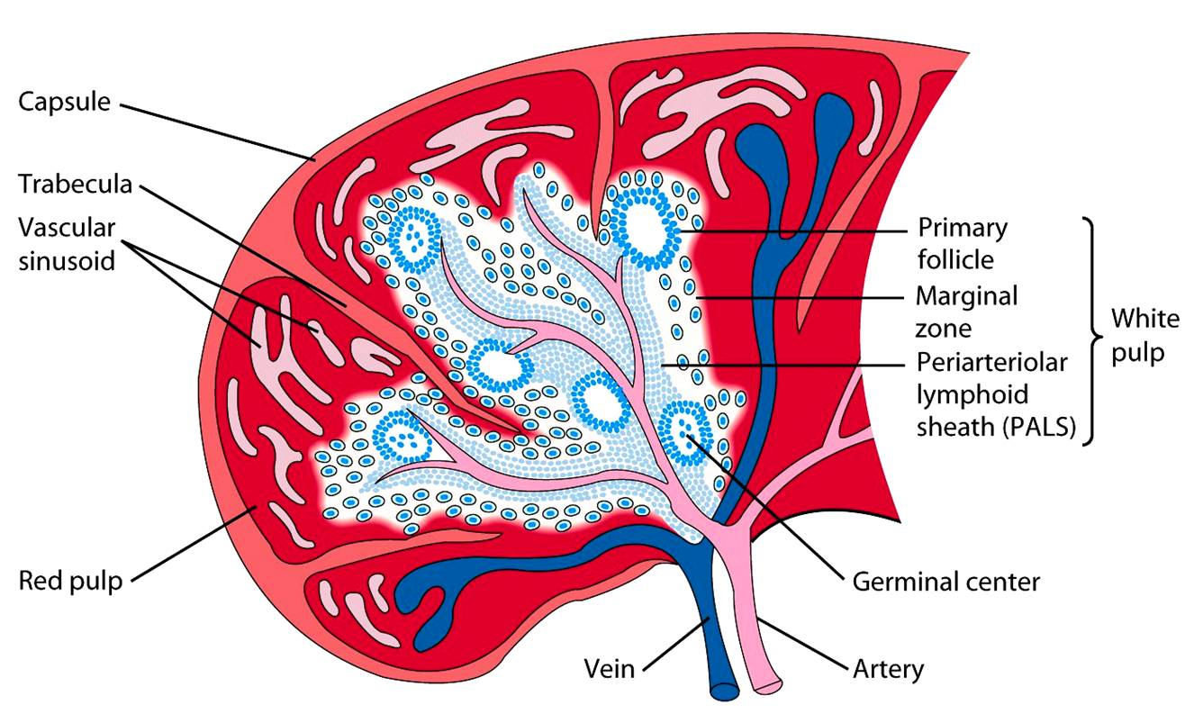 liver and spleen diagram meyers e47 pump wiring human anatomy free engine image for