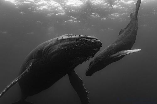 SERGIO-humpback-whale