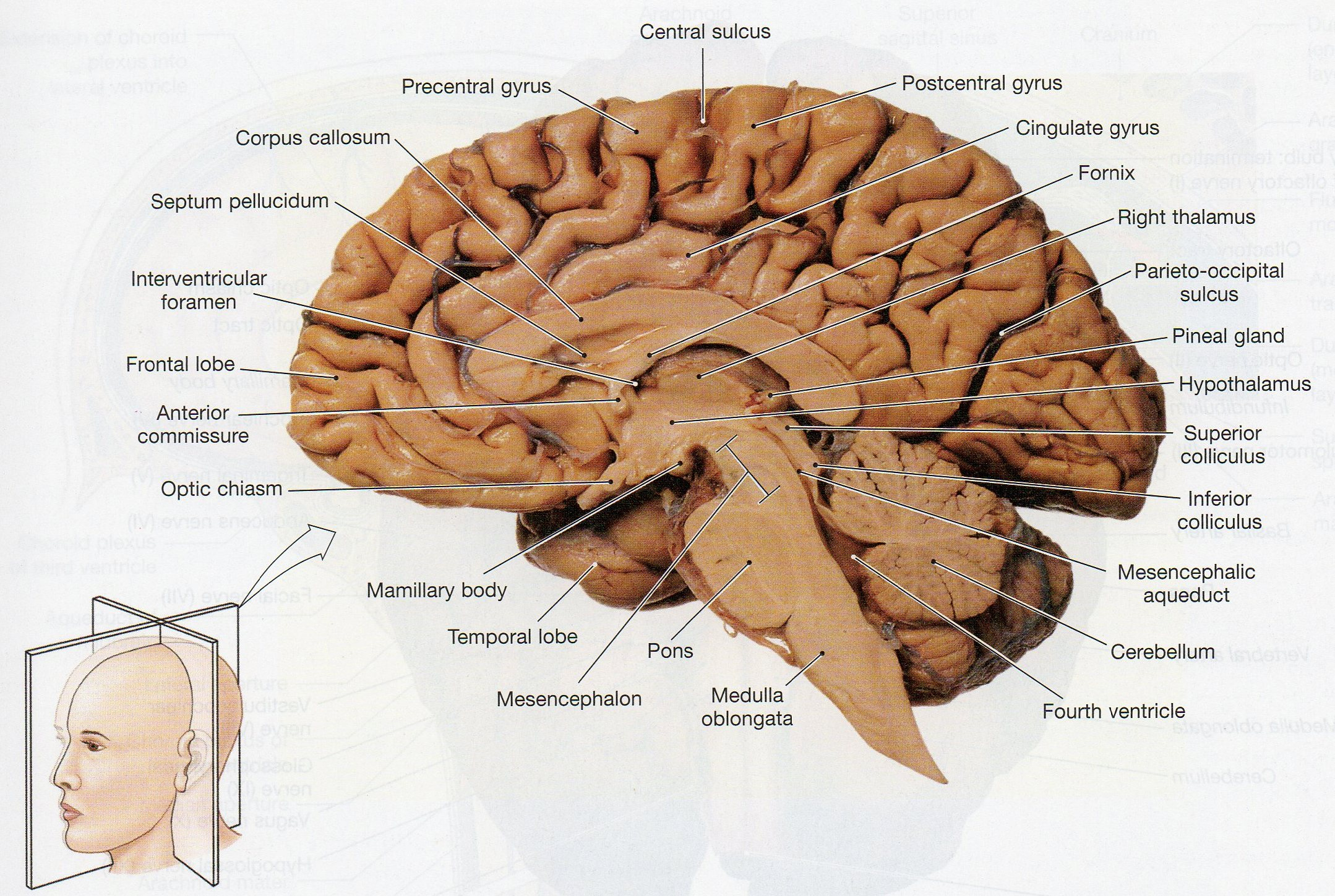 sheep brain diagram biology corner 2004 volvo xc90 stereo wiring physiological psychology